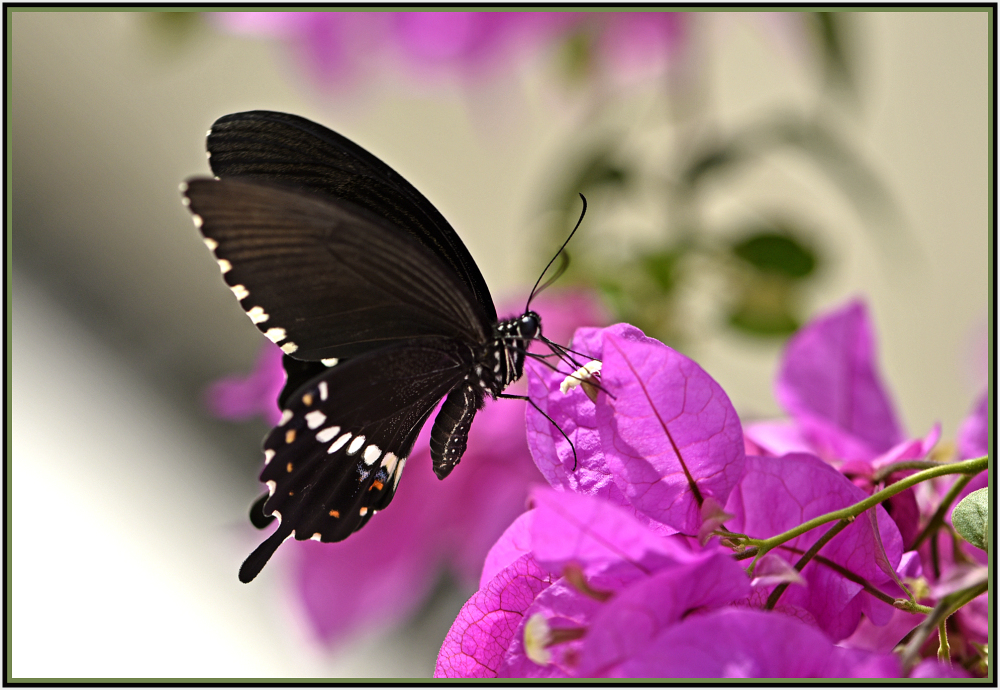 black butterfly in Hong Kong