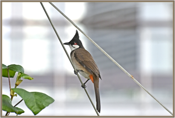 Red Whiskered Bulbul in Hong Kong