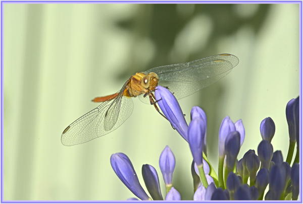 yellow dragonfly on blue flower