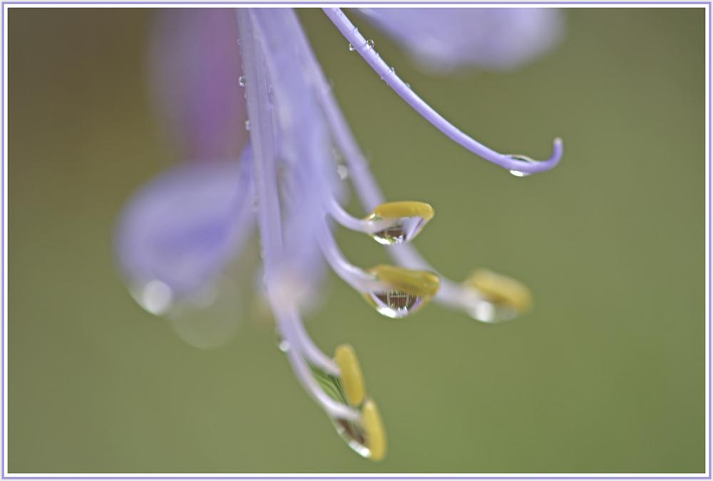 raindrops on blue flower