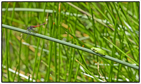 small green frog and red dragonfly