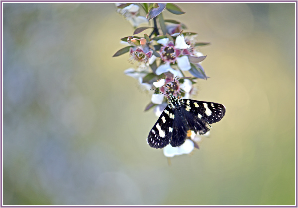 black butterfly in Snowy Mountains NSW