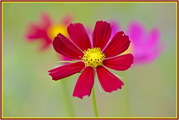 maroon flower