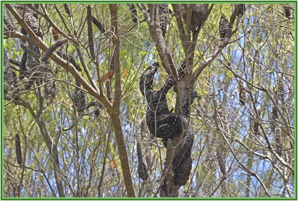 Goanna attacking honey eater's nest