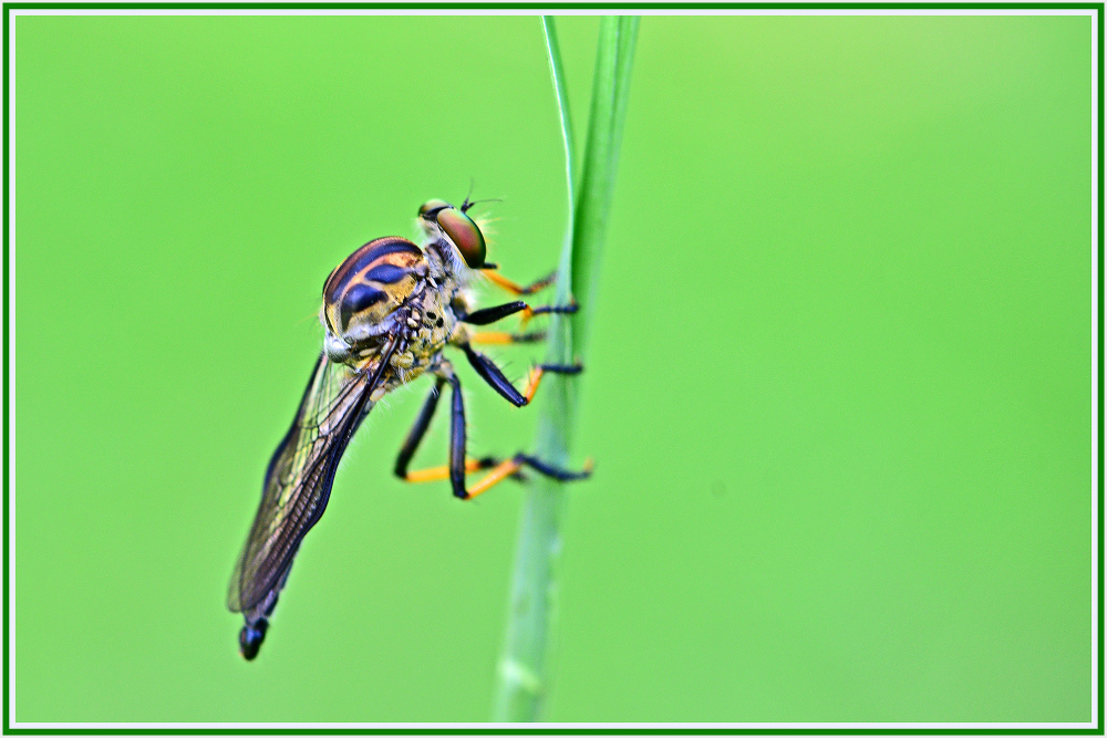butcher fly