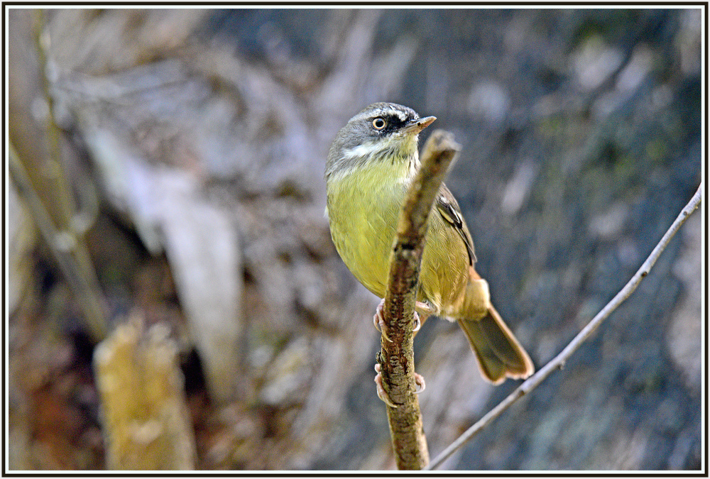Yellow rumped thornbill