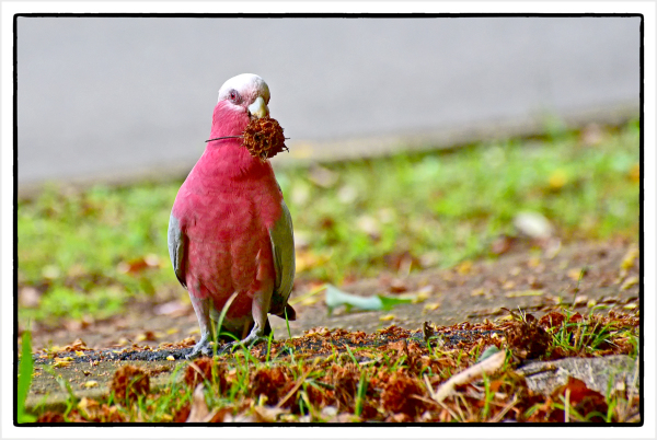 Aminus3 Color Featured photo red galah | 5 April 2016