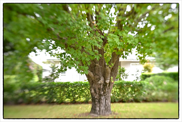Big tree with Lensbaby Spark