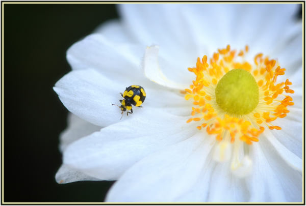 yellow beetle on white flower