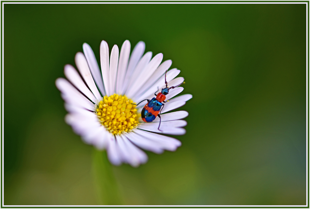 bug on small daisy