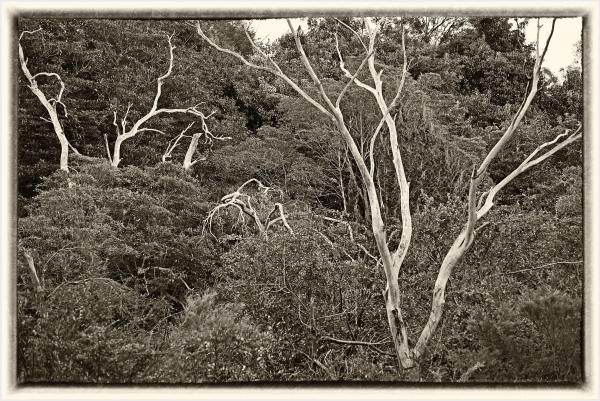 Dead trees in the bush