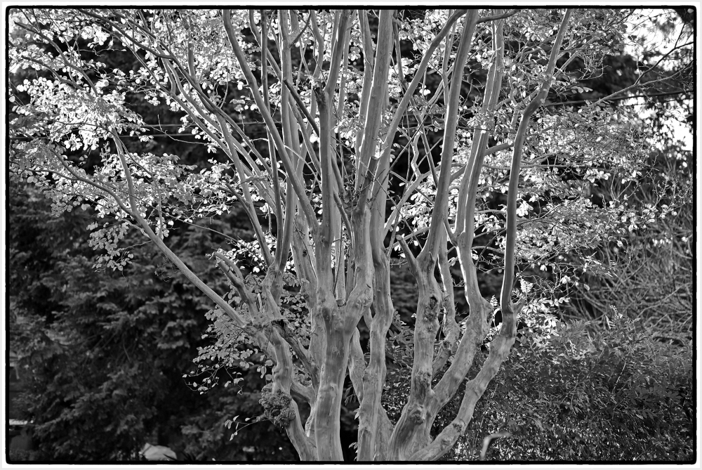 Autumn tree in black and white