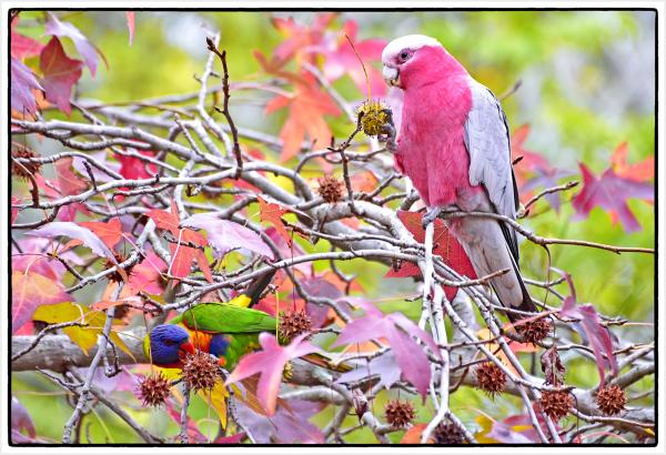 red galah and rainbow lorikeet