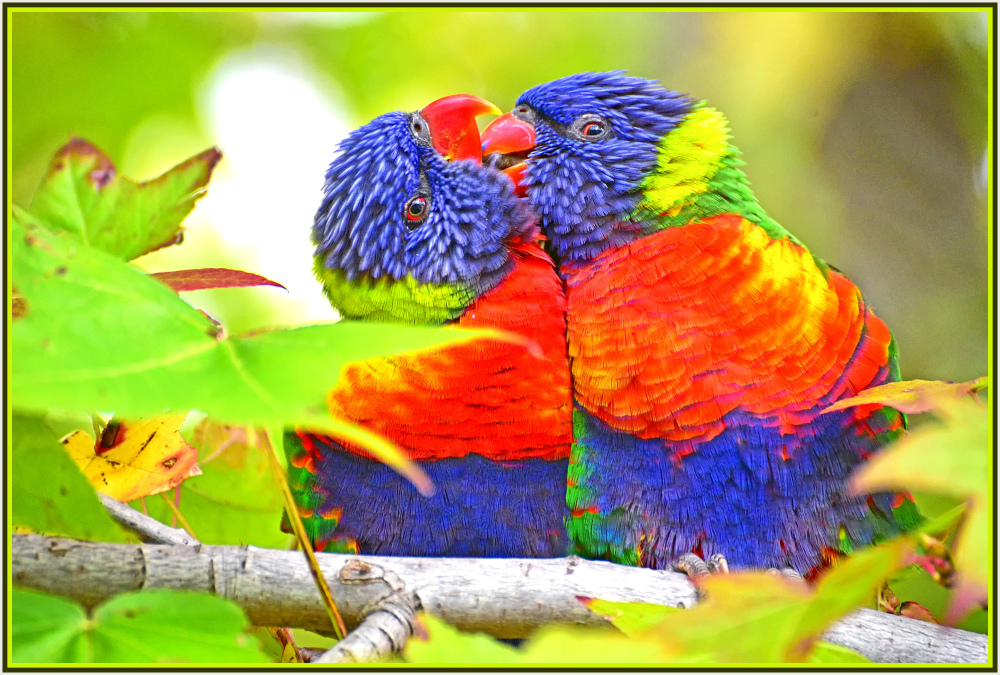 Intimate moment of Rainbow Lorikeet