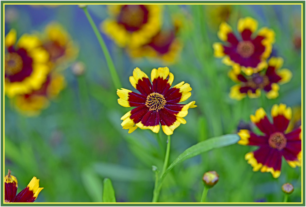 yellow marron flower