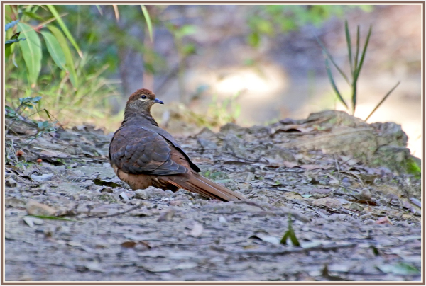 brown pigeon