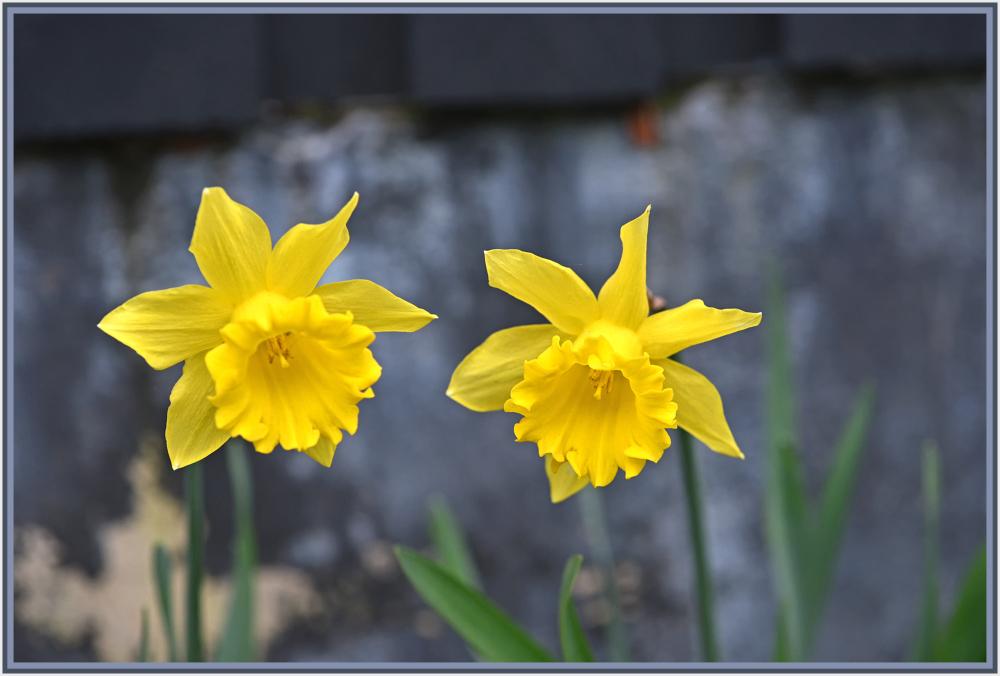 Yellow daffodile