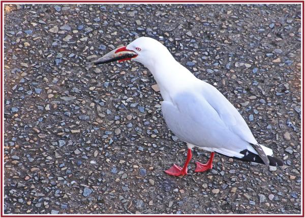 seagull big catch