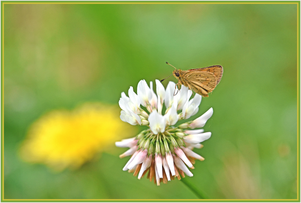 small butterfly on white flower
