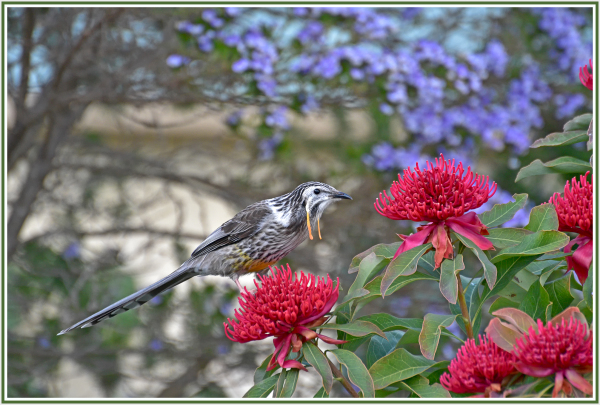 Yellow wattle bird on red waratah in Bruny Island