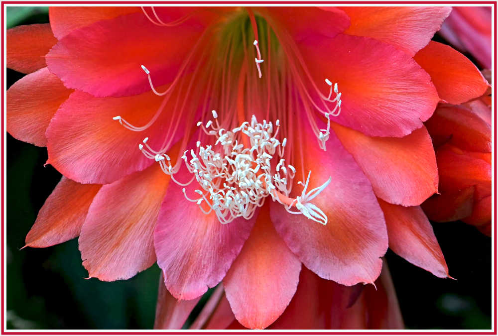 large catus flower
