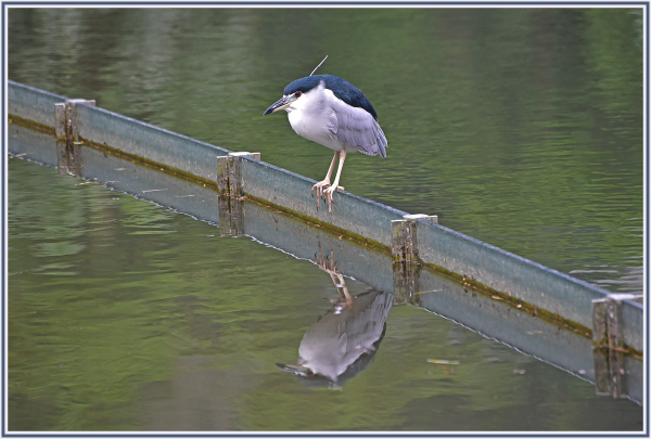 Night heron in Chinese University of Hong Kong