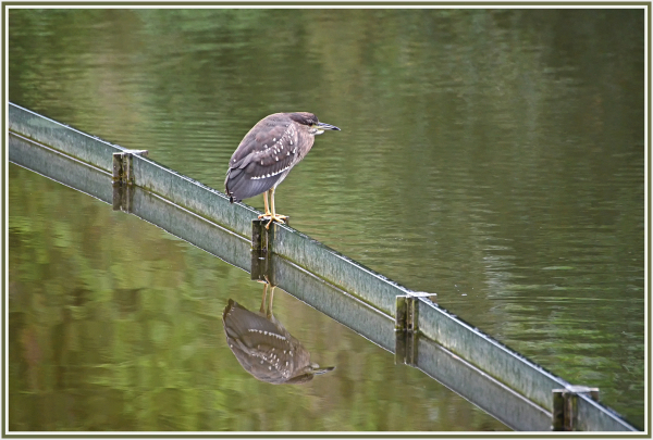 Chinese pond heron in CUHK