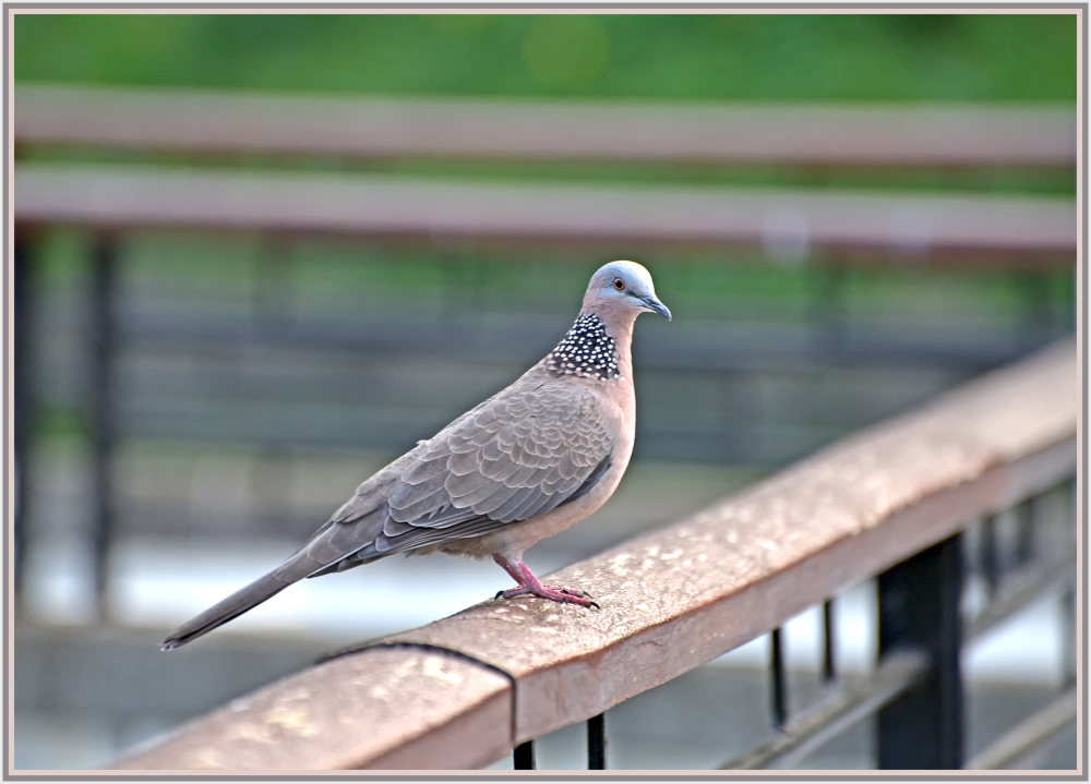 spotted dove in CUHK