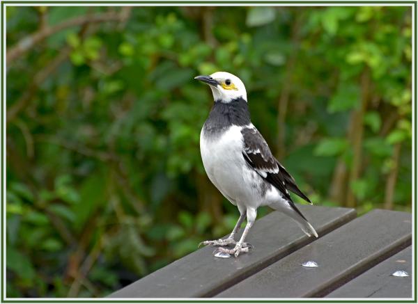 Black collared Starling in CUHK