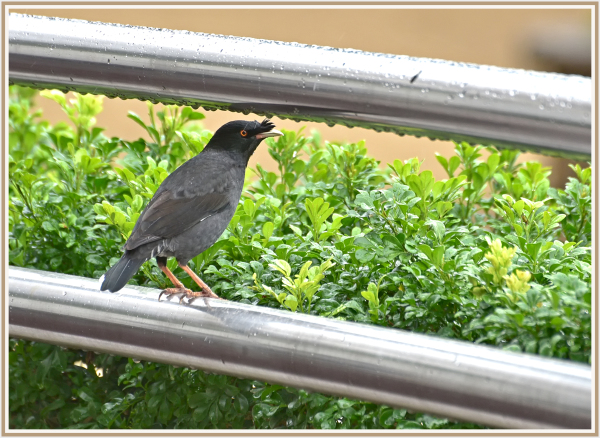 crested myna in Hong Kong