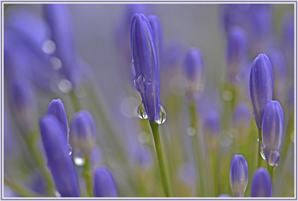 raindrop and blue flower
