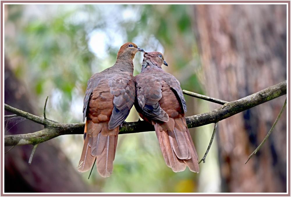 brown pigeons grooming