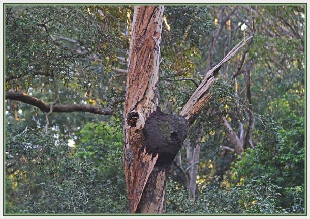 termite mound on tree