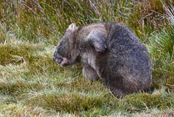 itchy wombat