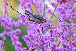 noisy minor on cherry blossom