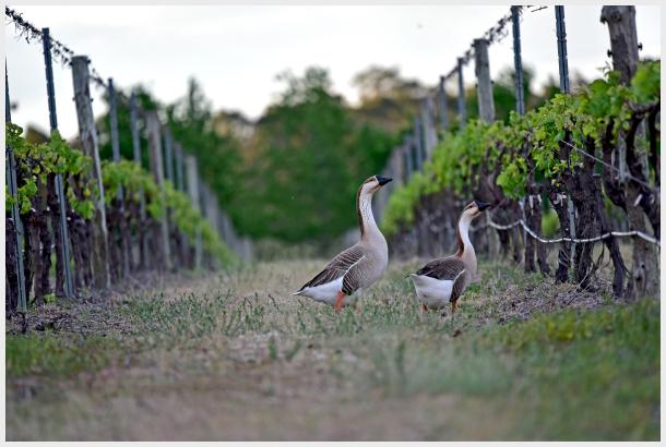 geese in the vineyard