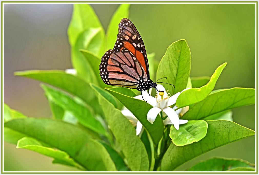butterfly on lemon flower