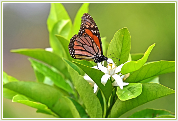butterfly on lemon flower