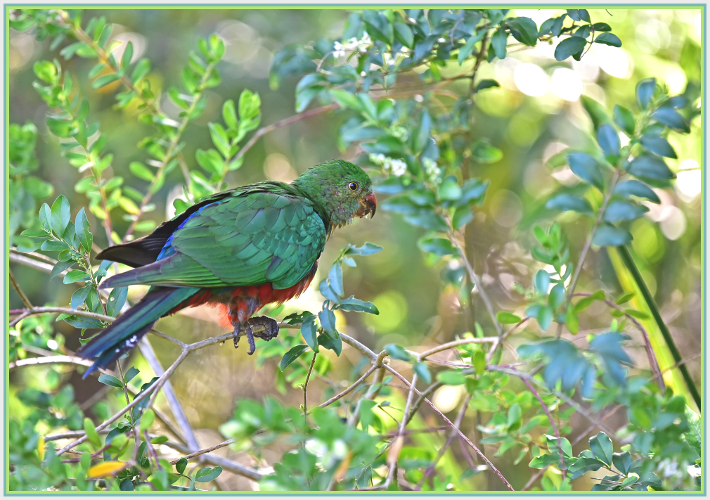 baby king parrot