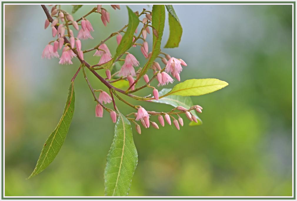 Elaeocarpus reticulatus, the blueberry ash