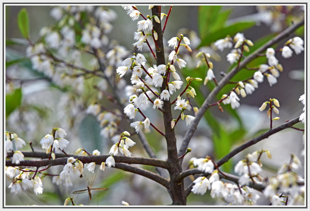 blue berry ash white flower