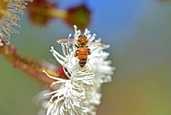 Bee on bloodwood