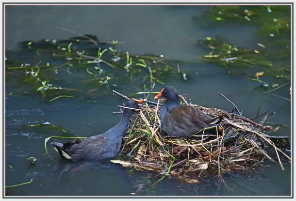 moorhen nest building