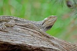 eastern breaded dragon
