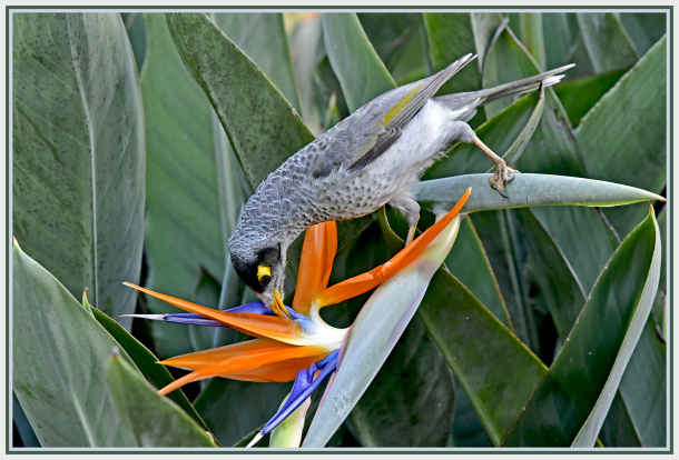 noisy minor on bird of paradise