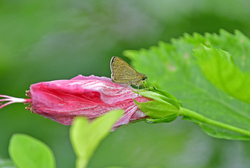 small butterfly on hibiscus
