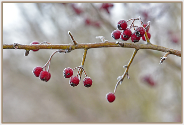 frost on red berry