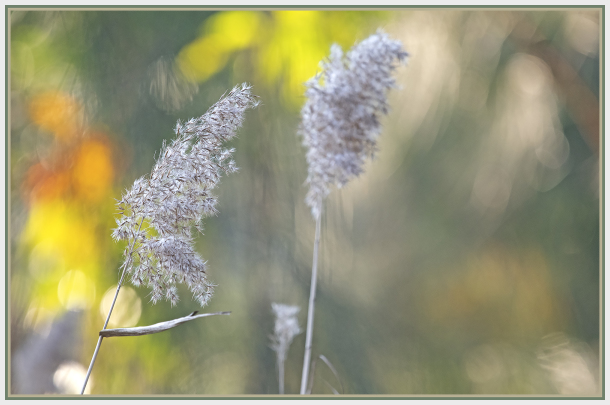 Tall pond grass