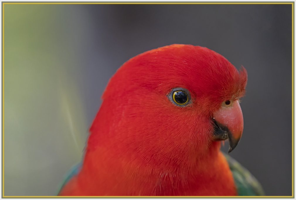 King parrot close up