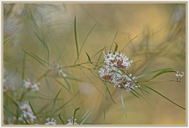 small white grevillea